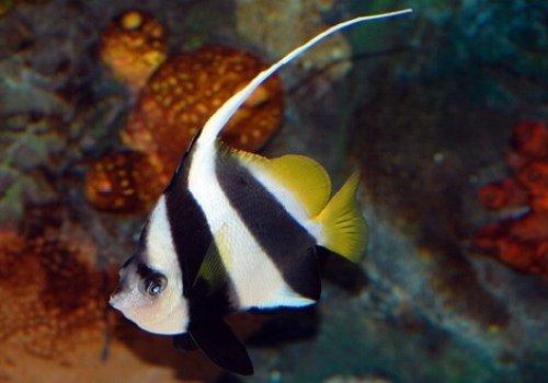 Бабочка белоперая XL (Heniochus acuminatus)
