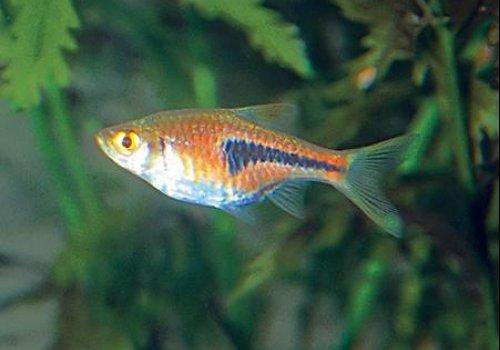 Расбора клинопятнистая (Rasbora heteromorpha)
