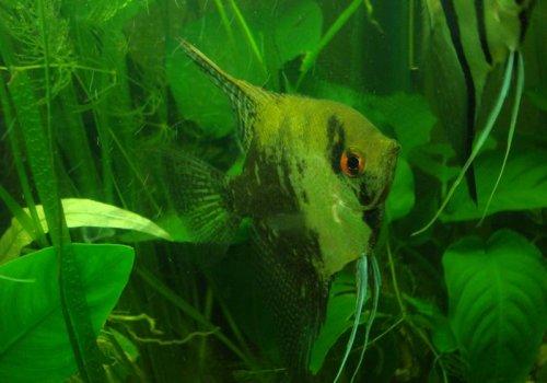 Скалярия зеленый жемчуг (Scalare Green Pearl)
